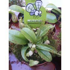 Pianta Carnivora Nepenthes 'hookeriana'