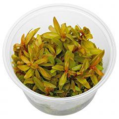 Ammannia pedicellata 'Golden' in vitro