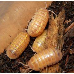 Armadillidium sp. Albino - Colonia starter