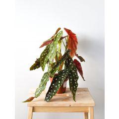 Begonia Maculata Wightii 40cm