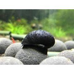 Lumaca Neritina Black Helmet - 4 esemplari -