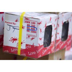 Acheta Domestica - Box 500 pezzi