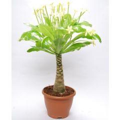 "Brighamia insignis ""Hawaiian Palm"""