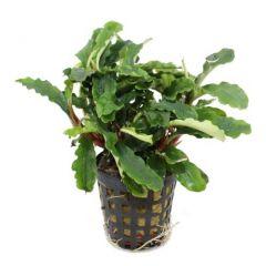 Tropica Bucephalandra pygmaea 'Wavy Green'