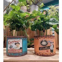 Pianta del Caffè su Vaso Vintage