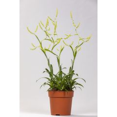 Catopsis morreniana 45cm
