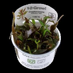 Tropica Cryptocoryne undulatus 'Red' 1-2-Grow!