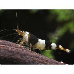 Caridina sp.Cantonensis Taiwan Bee Crystal Black - 3 esemplari