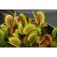 Pianta Carnivora Dionaea Muscipula