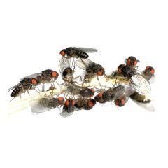 1/2 Litro Drosophila Hydei