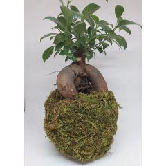 Bonsai di Ficus Retusa in Kokedama