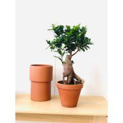 Bonsai di Ficus Retusa 35cm