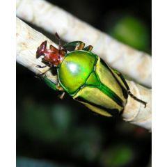 Larva Di Coelorrhina Hornimani