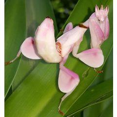 Hymenopus Coronatus - Mantide Orchidea