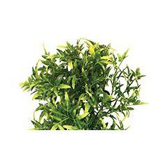 Komodo Croton Plant 30cm