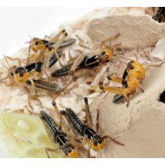 Locusta migratoria - Scatolette