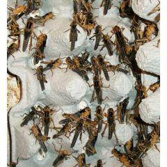 Locusta migratoria - Box 50 pezzi
