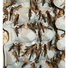 Locusta migratoria - Box 100 pezzi