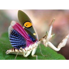 Creobroter gemmatus - Mantide Fiore