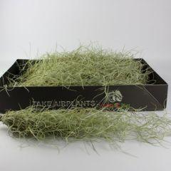 "Tillandsia usneoides ""Muschio spagnolo"" - 40cm"