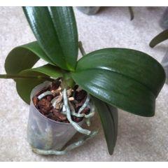 Orchidea verde - Da fiorire