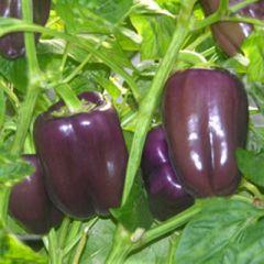 Semi Peperone Viola