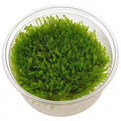 Plagiomnium affine in vitro 'Pearl Moss'
