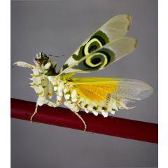 Pseudocreobotra wahlbergii - Mantide fiore spinosa