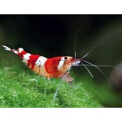 Caridina sp. Cantonensis Taiwan Bee Crystal Red - 3 esemplari