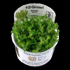 Tropica Rotala indica 'Bonsai' 1-2-Grow!
