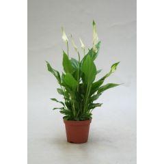 Spathiphyllum Vp.9