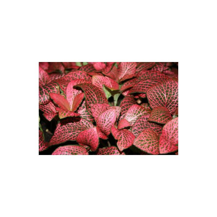 Fittonia Sp. Red