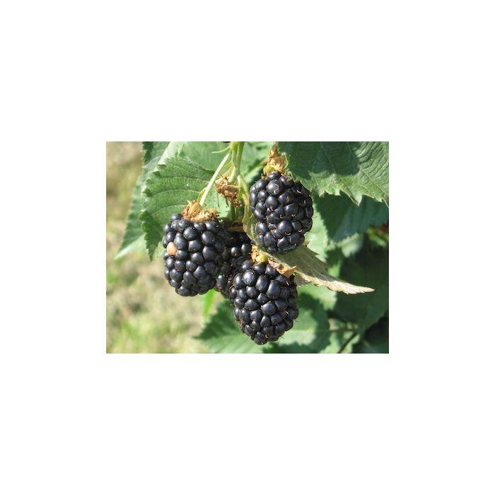 Pianta Di More - Rubus Fruticosus