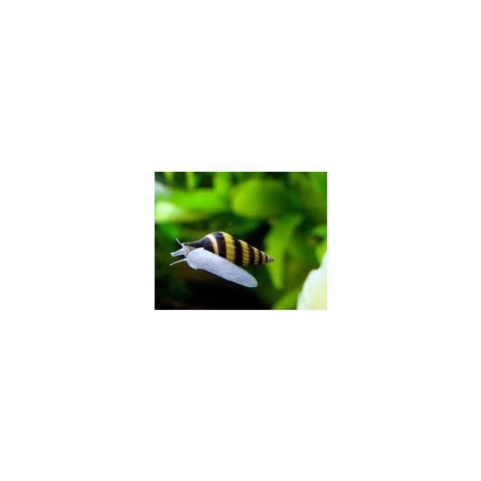Lumaca Anentome Helena - 5 esemplari - mangia lumache infestanti