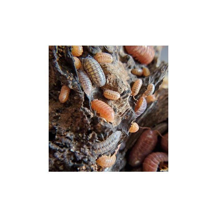 Armadillidium sp. Santa Lucia - 12 pezzi