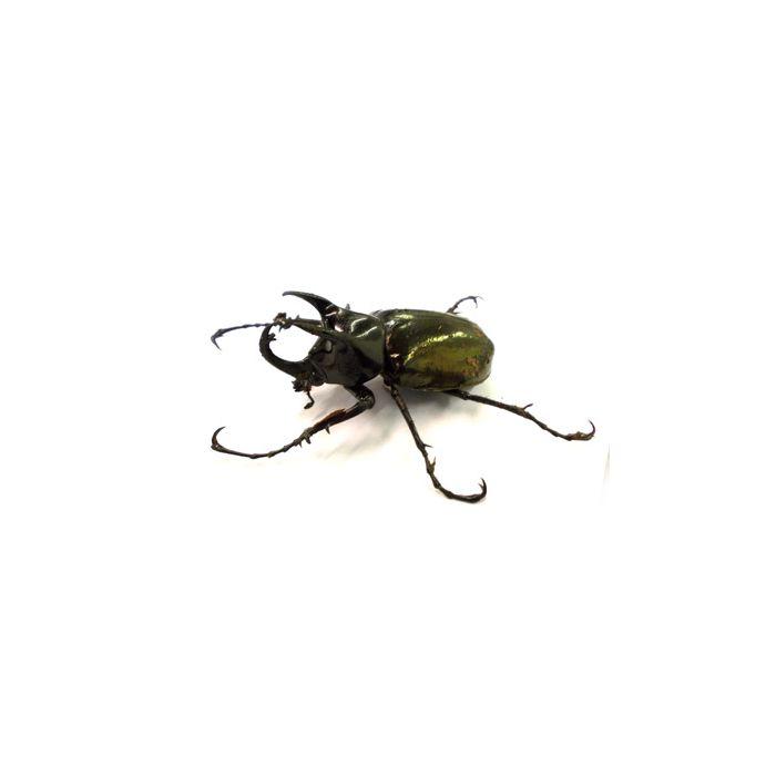 Larva Di Chalcosoma Atlas