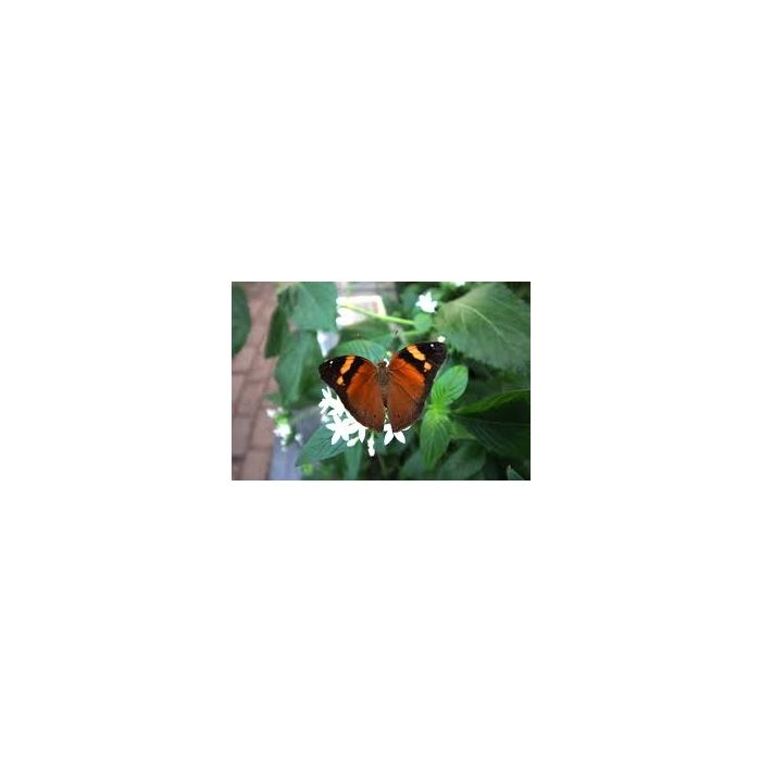Doleschallia bisaltide - 3 Pupe