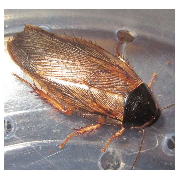Pycnoscelus surinamensis - 50 Pezzi