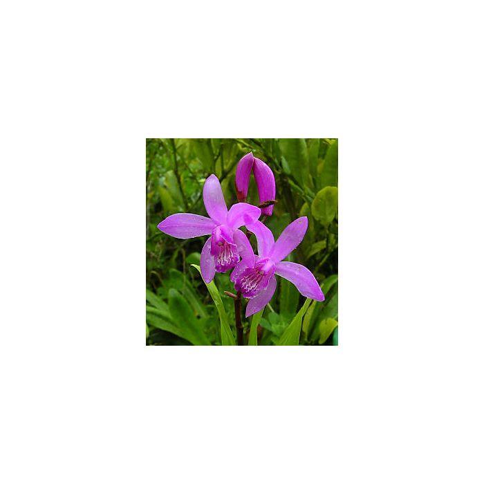 Bletilla Striata - Orchidea palustre
