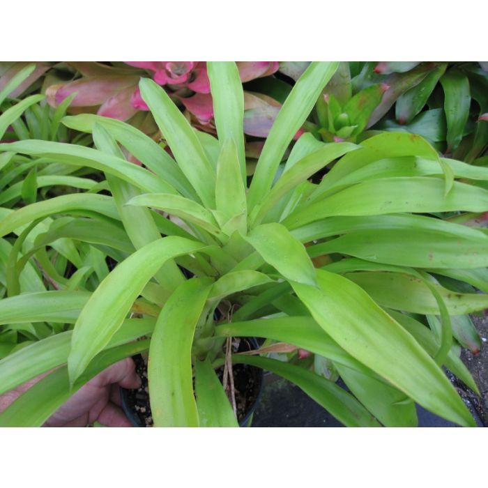 Bromelia Green
