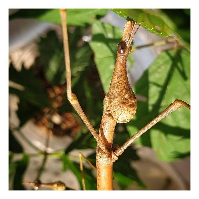 Pseudoproscopia latirostris - Cavalletta Testa di Cavallo