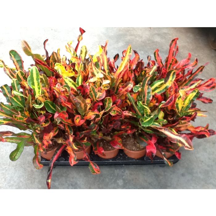 Croton varietà mix