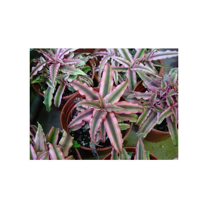 Cryptanthus Pink Starlight
