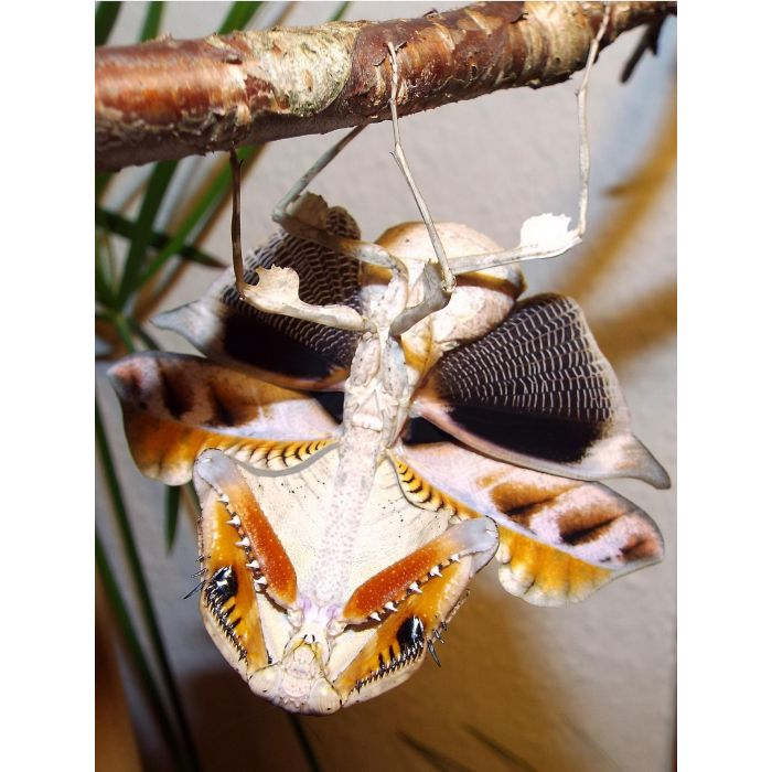 Deroplatys Lobata - Mantide Foglia Secca