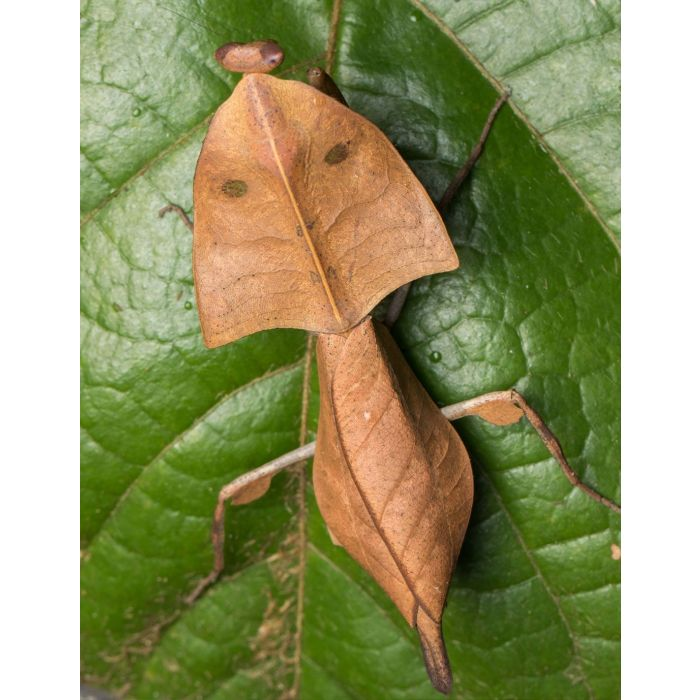 Deroplatys Truncata - Mantide Gigante della Malesia