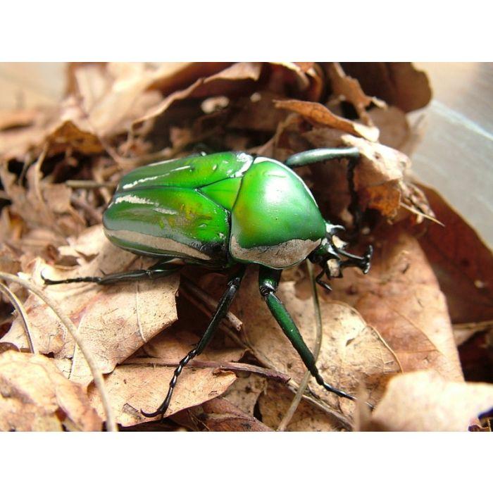 Larva di Dicronorhina derbyana derbyana