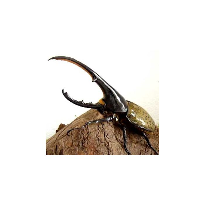 Larva di Dynastes Hercules Hercules
