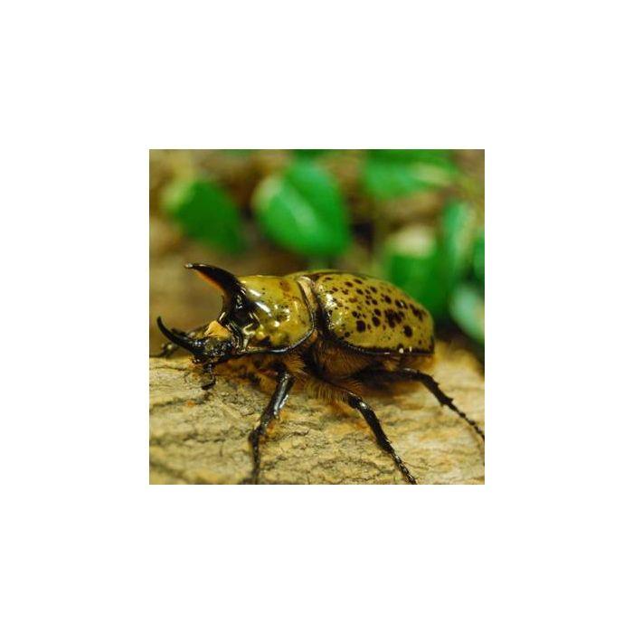 Larva di Dynastes tytus