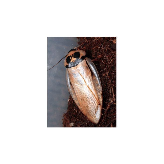 "Eublaberus sp. ""Ivory"" - 10 pezzi"