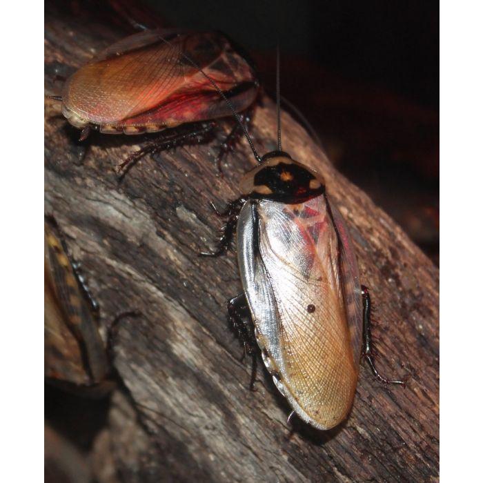 "Eublaberus serranus ""Brazil, Mato Grosso, Pantanal"" - 10 pezzi"